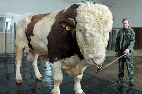 Журнал Житомира - Журналисты отыскали самого большого быка в Украине.