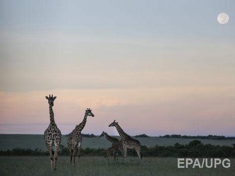 Жирафы могут пропасть слица Земли доконца века— Ученые